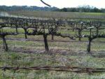 カリフォルニアワインの優越